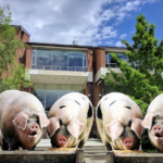 """Cornell Addresses Dining Hall Overcrowding with New """"Slop in a Trough"""" Feeding System"""